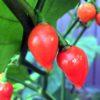 Cupetino Chilli Seeds