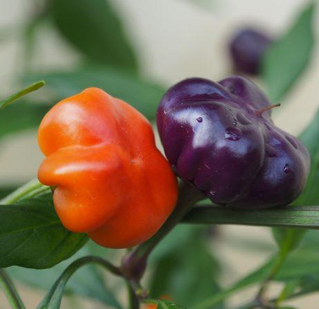 Pumpkin Cili Chilli Seeds