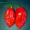 Tobago Chilli Pepper Seeds