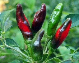 Afghani Chilli Pepper