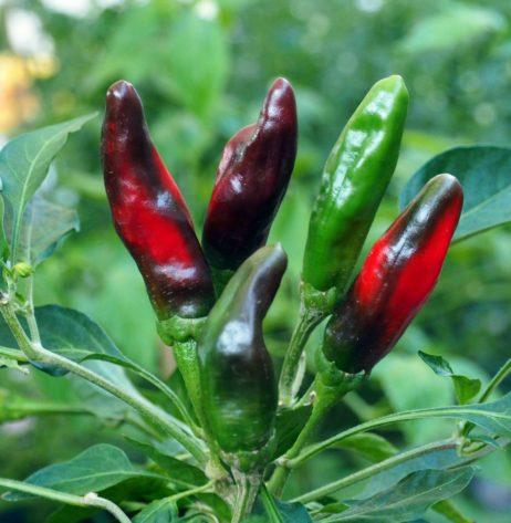 Afghani Chilli Pepper