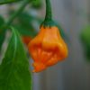 Berry Amarillo Chilli Seeds
