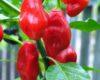 Bido Tecana chilli seeds