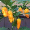 Datil Plant