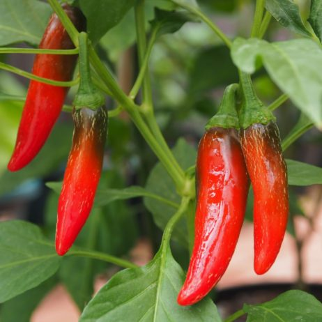 Goats Horn Chilli Pepper