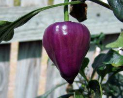 Purple UFO chilli seeds