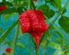 Carolina Reaper chilli seeds