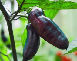 Pimenta De Neyde chilli seeds