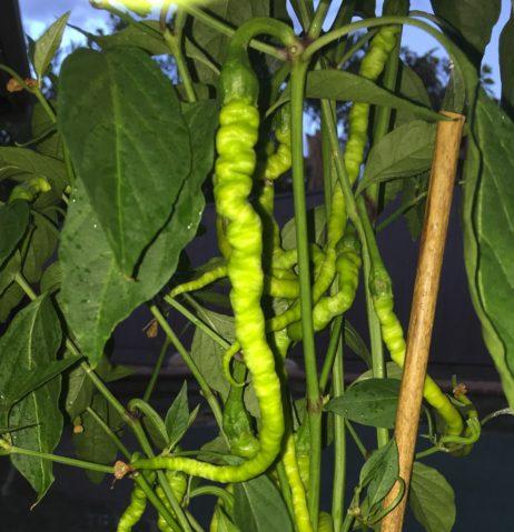 Turkish Snake Chilli Pepper Seeds