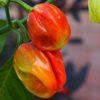 7 Pot Burgundy Chilli Seeds