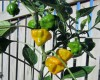 Jamaican yellow chilli seeds