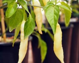 Blondie Chilli Pepper Seeds