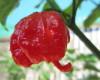 7 pot Primo chilli seeds