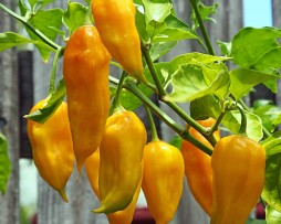 Yellow Bhut Chilli