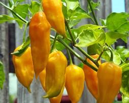 Yellow Bhut Chilli