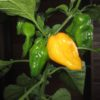 Yellow Bhut chilli seeds