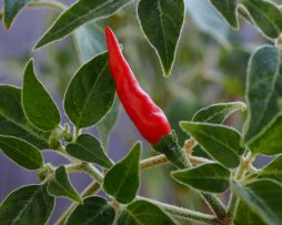 Goats Weed Chilli Seeds