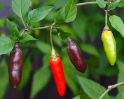 Chenzo Chilli Seeds