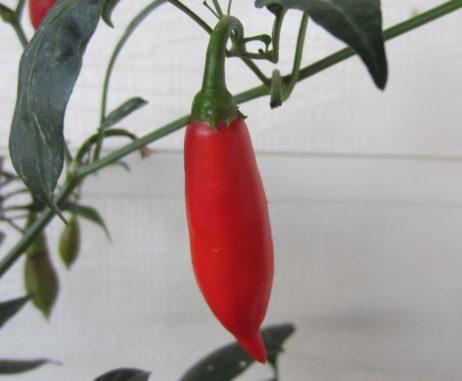 Dedo de Moca chilli seeds