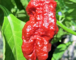 Madballz 7 chilli seeds