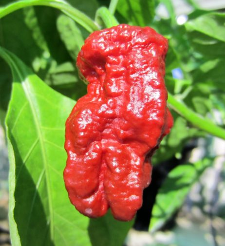 Madballz 7 chilli seeds