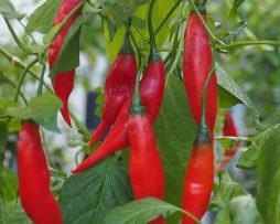 Aji Rojo Chilli Seeds