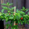 Hot Beads Chilli Pepper Seeds