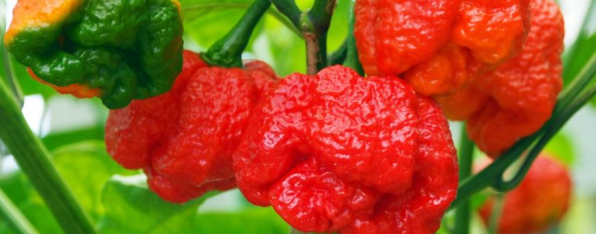 MORUGA RED SCORPION