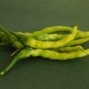 Pusa Jwala Chilli Pepper