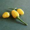 Yellow Jelly Bean Chilli