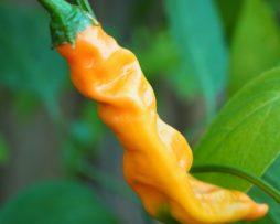 Aji Colorado Orange Chilli