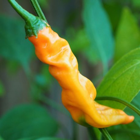 Aji Colorado Orange Chilli