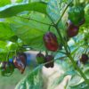 Dwarf Chocolate Habanero Chilli Seeds
