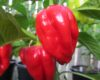 7 pot Congo SR Gigantic Red chilli seeds