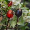 Peruvian Purple Chilli Seeds