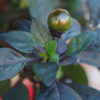 Black Prince Chilli Seedz