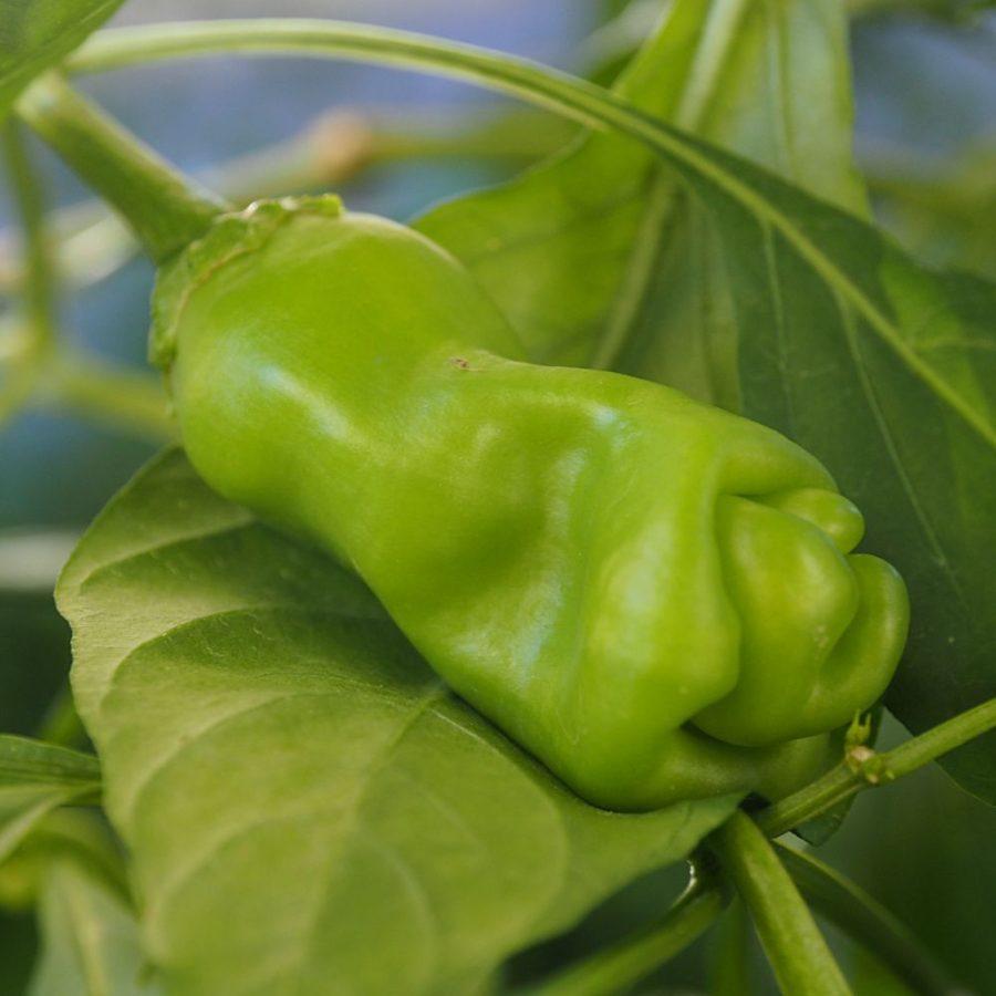 Peter Pepper Yellow (Penis Pepper) - Chilli Seedz
