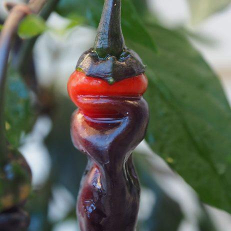 Black Thai TQ Chilli Seeds