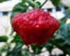 MA Wartryx chilli seeds