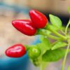 Piri Piri African Birdseye Chilli Seeds