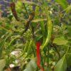 Bangalore Torpedo Chilli Seeds