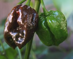 Barrackpore Chocolate Chilli Seeds