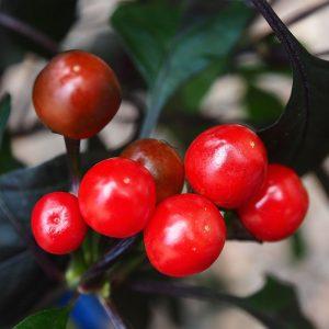 Royal Black Chilli Seeds
