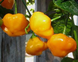 Yellow Brazilian Starfish chilli seeds