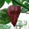 Pseudonaja chilli seeds