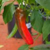 Corona - Space Chilli (HJ 1) Chilli Seeds