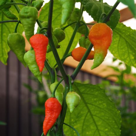 Devils Brain Chilli Seeds