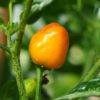 Golden Nugget chilli seeds