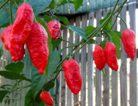 Ghost Bhut Jolokia chilli seedz