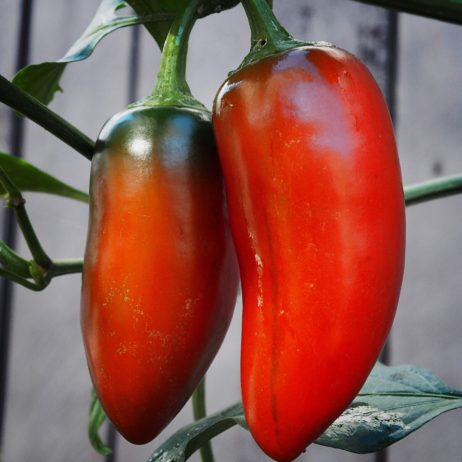 Jumbo Jalapeno Chilli Seeds